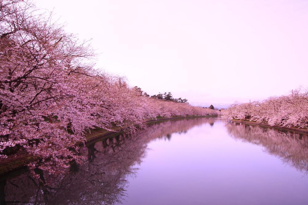 Цветение сакуры — особенная философия